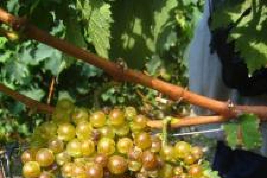 Viticoltura in quota