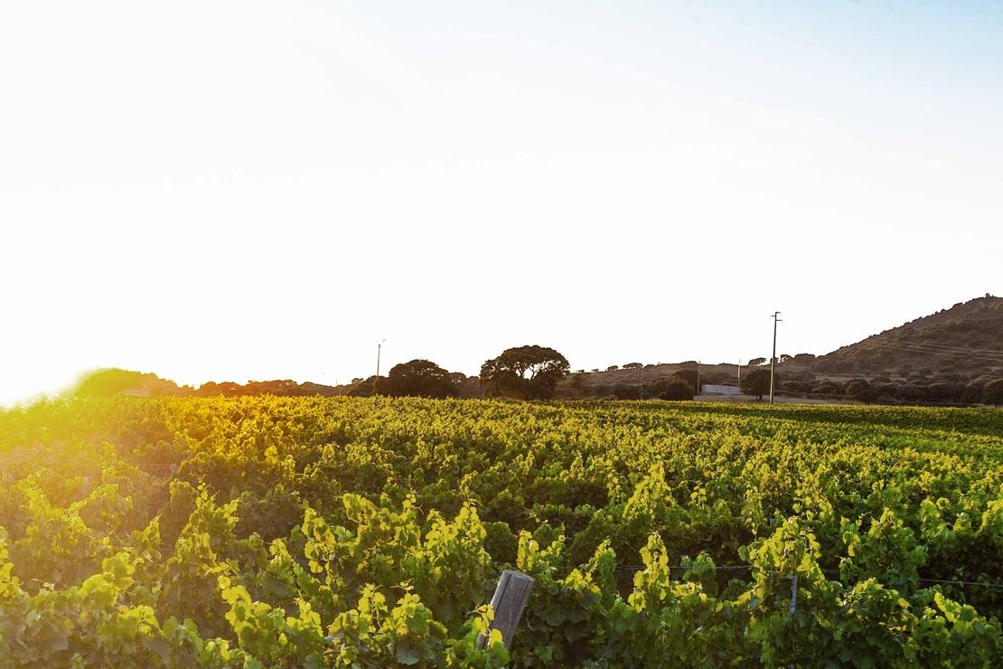 Eccellenze della Sardegna: vermentino e cannonau