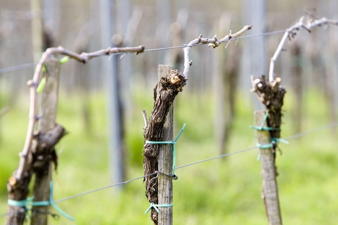 Piwi: i vitigni resistenti in Lombardia